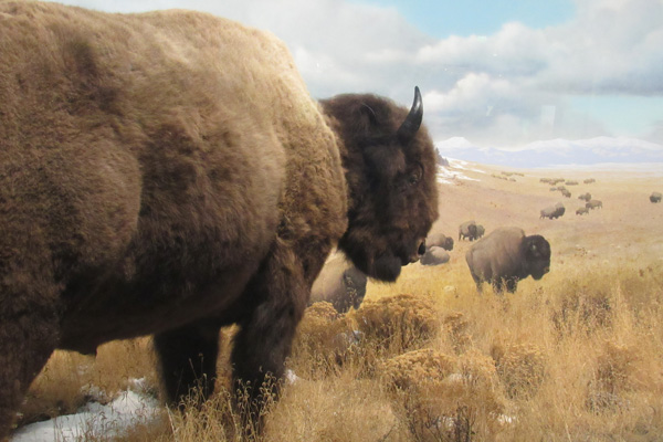 Preview of Bison Diorama Photograph