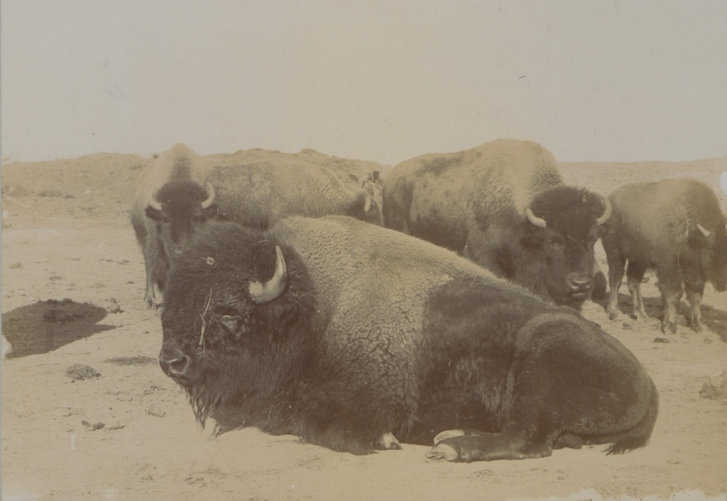 Black and white photograph of several bison sitting and standing, with dusty hills in the background.
